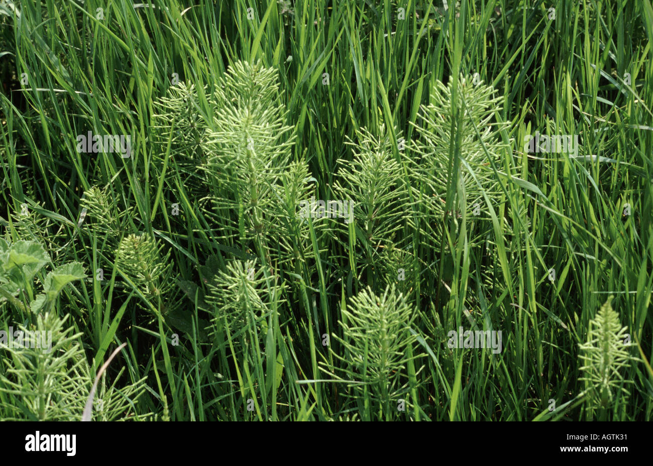 Common Horsetail Equisetum arvense in Ryegrass ley - Stock Image