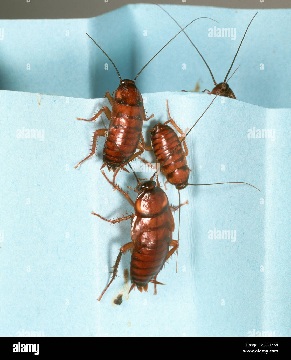 Cockroaches Kitchen Stock Photos & Cockroaches Kitchen Stock Images ...