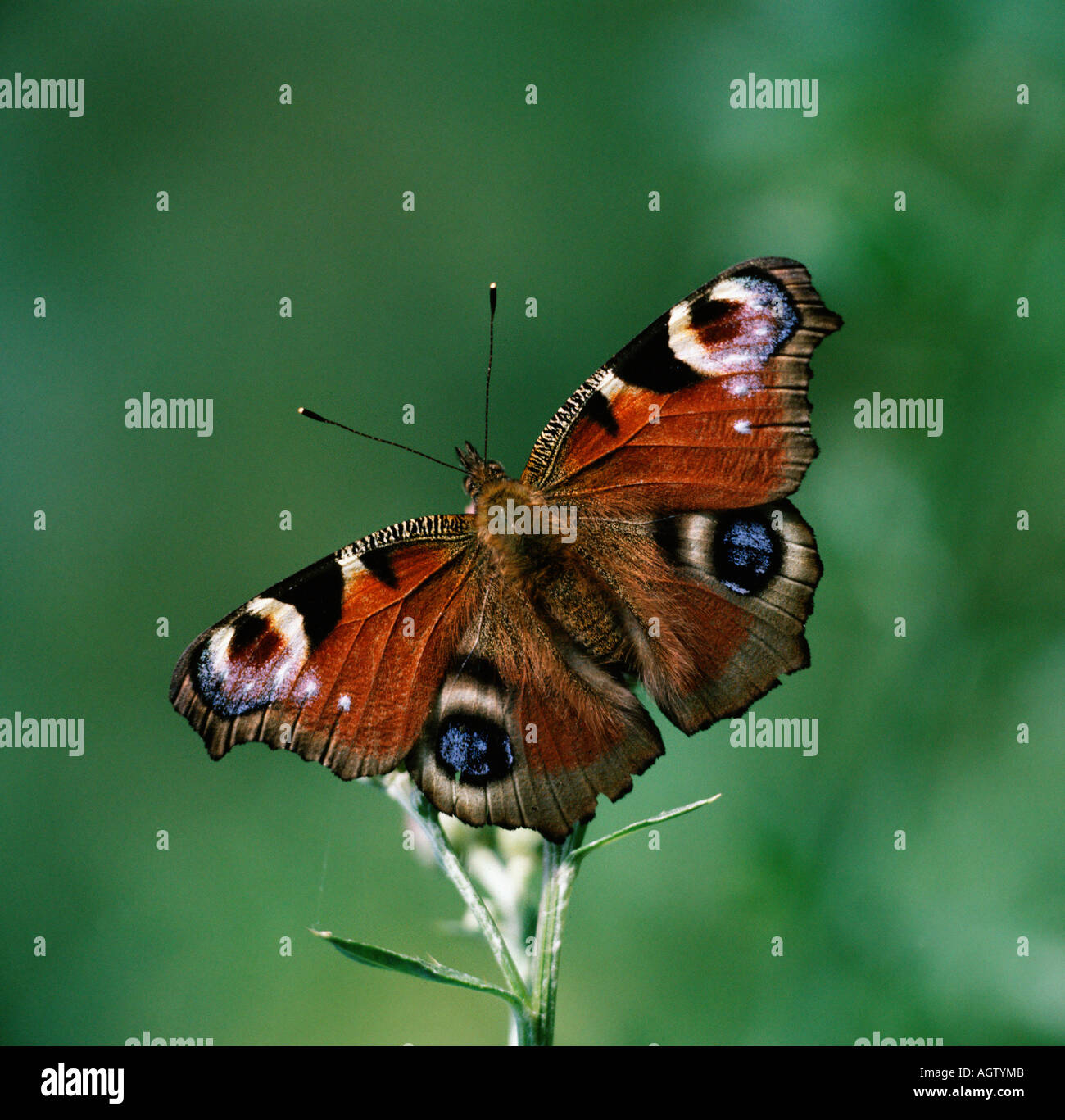 Peacock Butterlfy - Stock Image