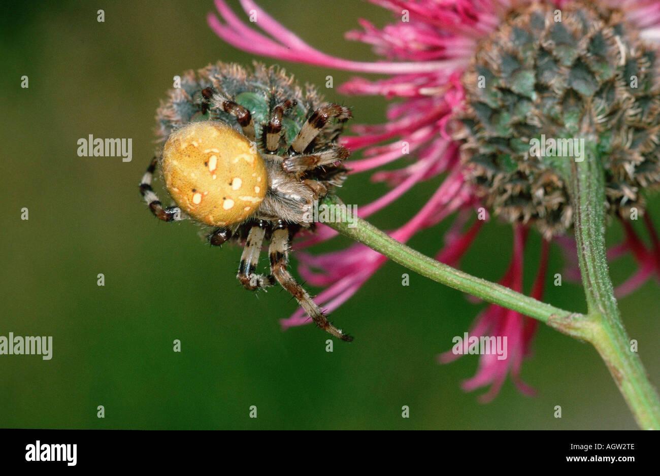 Fourspotted Orbweaver - Stock Image