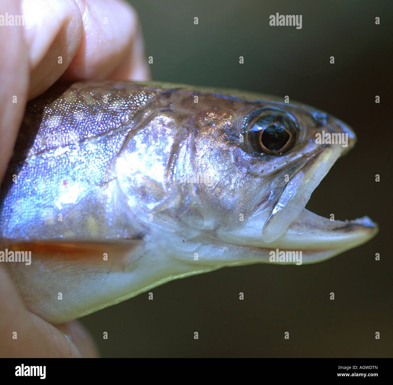 Painet jn3945 brook trout external anatomy head salvelinus ...