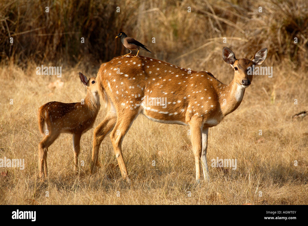 India Kanha national park kanha tiger reserve chital deer axis deer spotted deer axis axis fawn indian starling - Stock Image