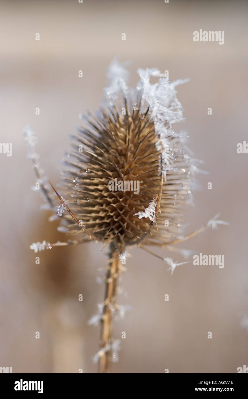 Thistle with hoarfrost Stock Photo