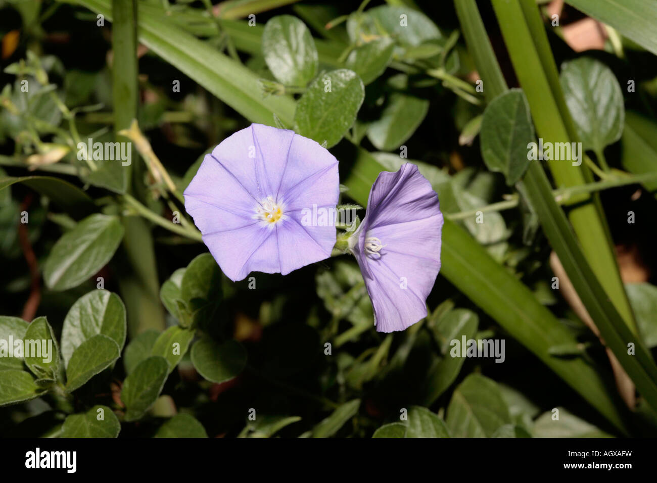 Bindweed/Convolvulus - Convolvulus althaeoides-Family Convolvulaceae - Stock Image