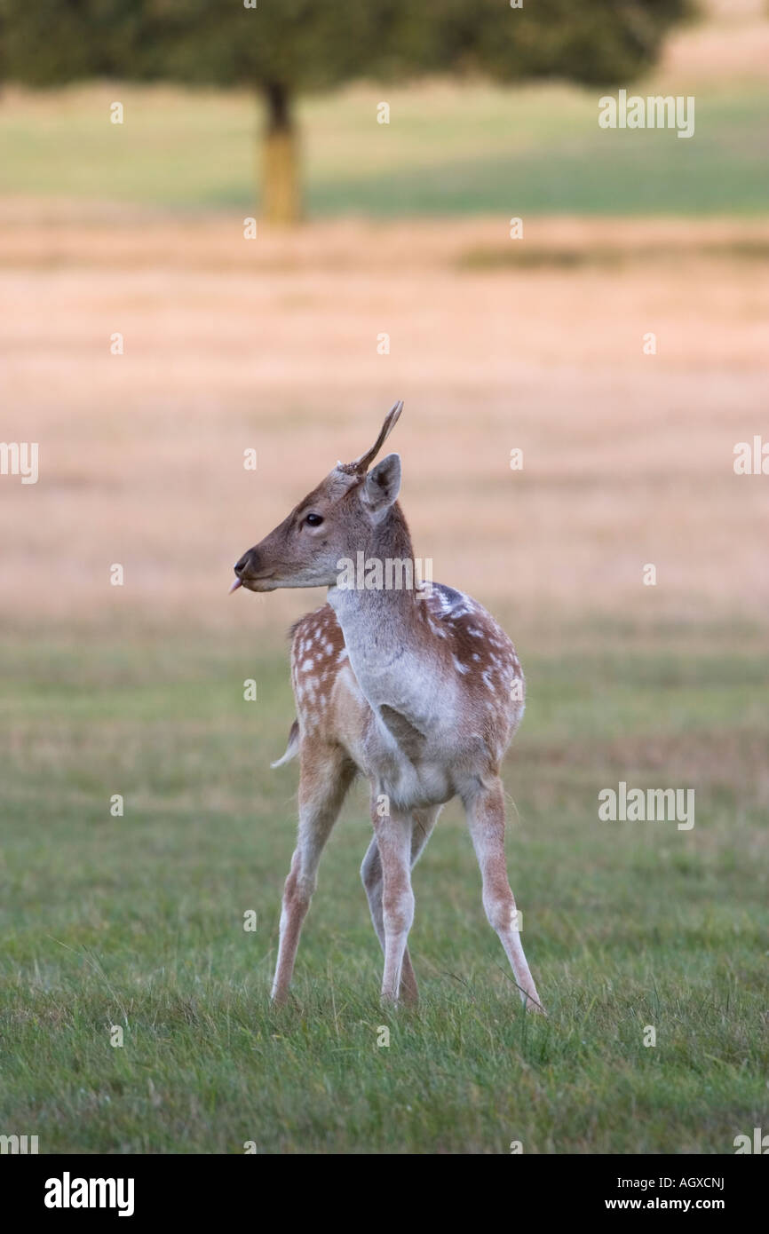 Fawn deer - Stock Image