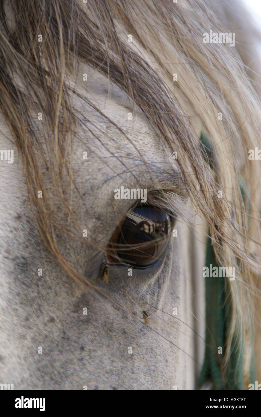 Close up of a Spanish horse, recently bitten by a spider Stock Photo