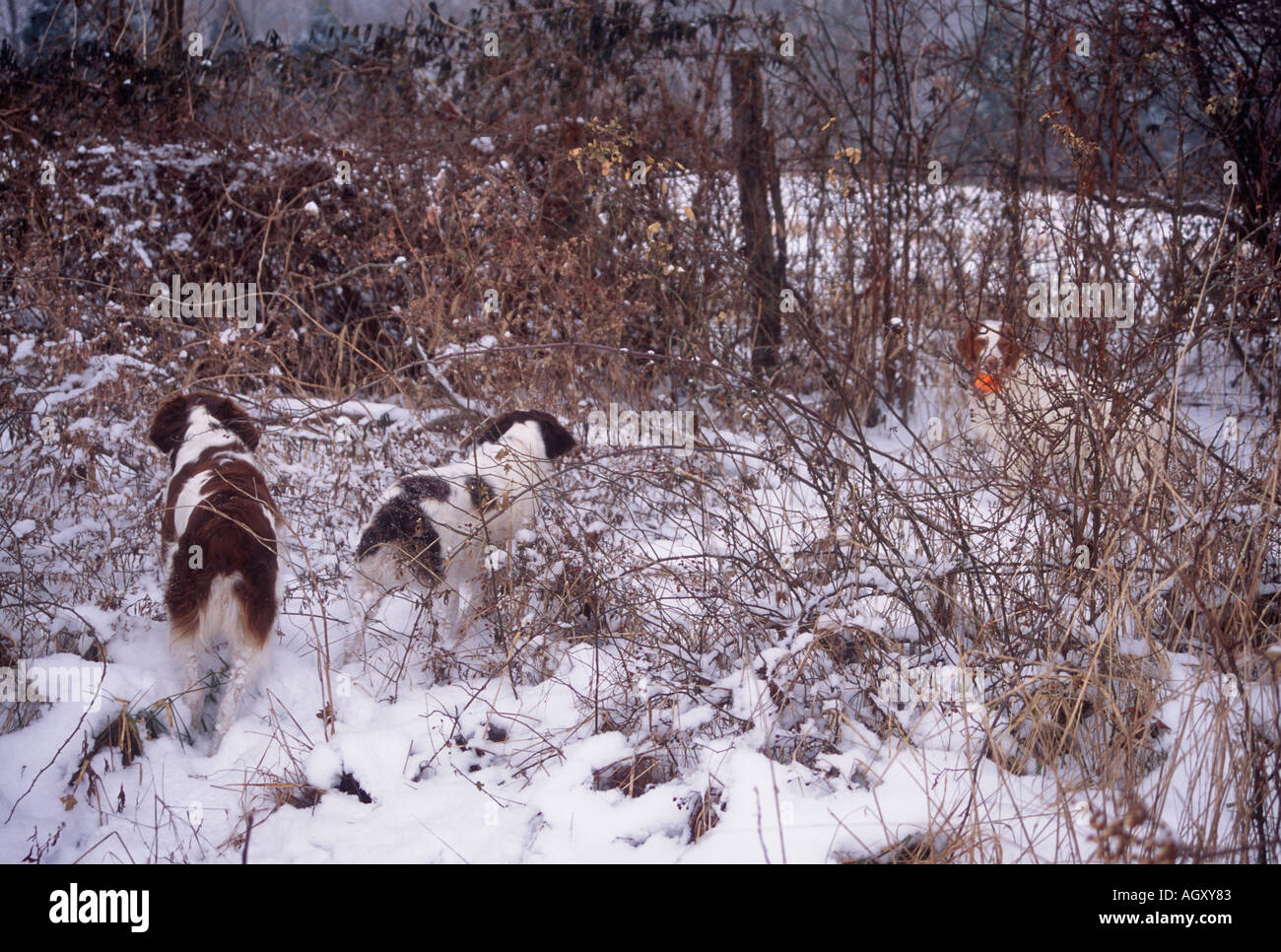 covey of quail stock photos \u0026 covey of quail stock images alamy Quail Template trio of brittanys pointing covey of quail in snow covered fenceline harrison county indiana stock