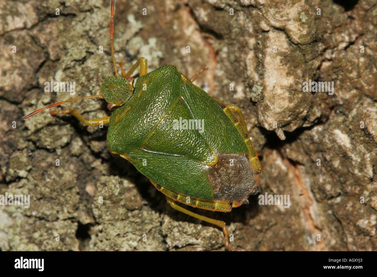 Green Sheild Bug Palomena prasina on Tree Bark - Stock Image