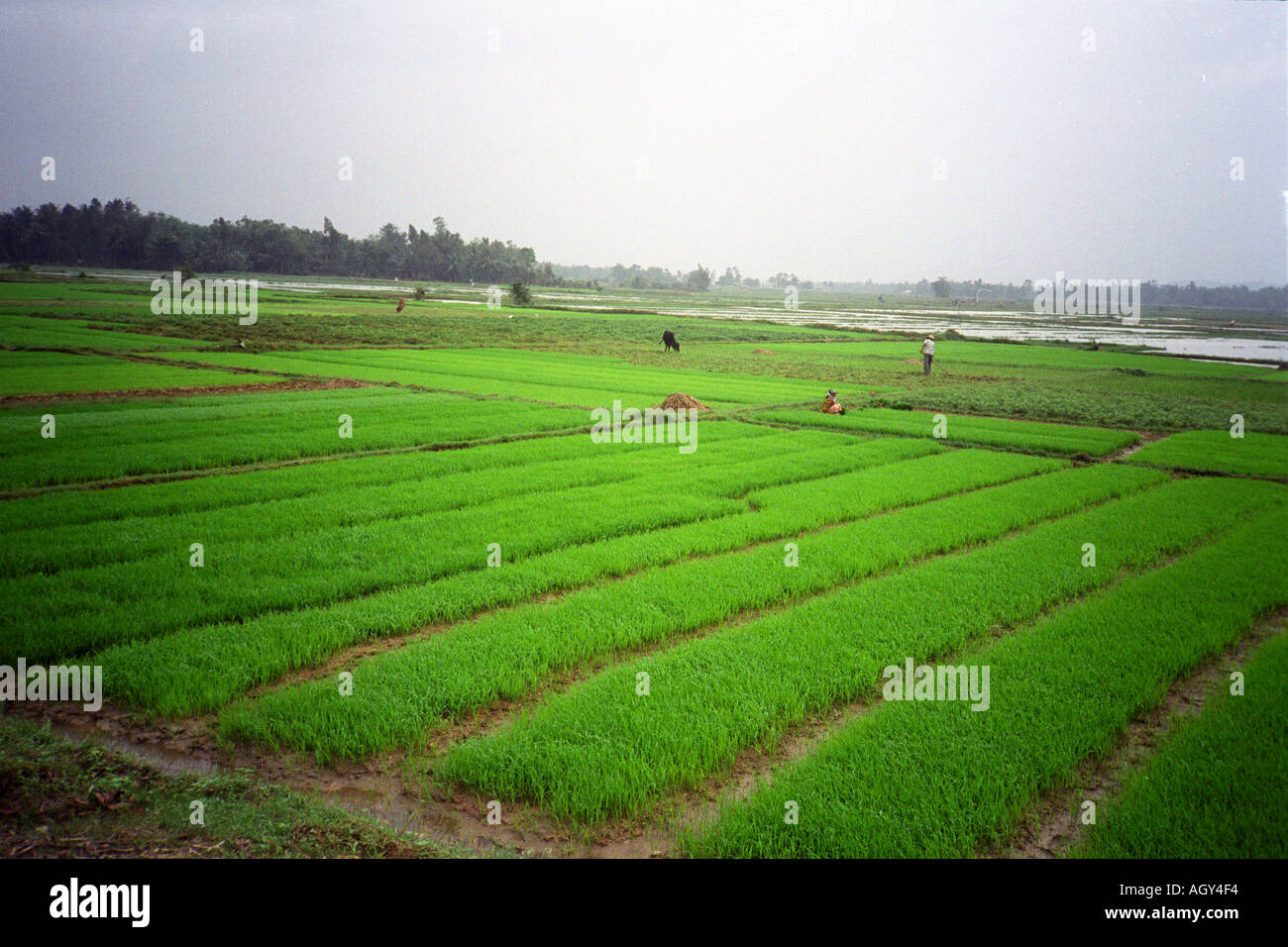 Vietnam Near Quang Ngai Working In The Fields Paddy Fields Rice Stock Photo Alamy