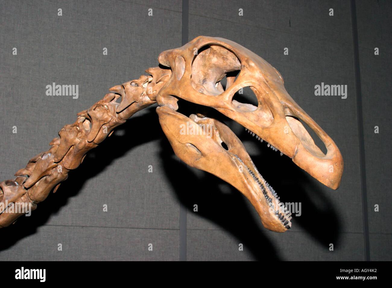 Skeletal replica of Alkasaurus dinosaur skull, Royal Tyrrell Museum, Drumheller, Alberta, Canada. - Stock Image