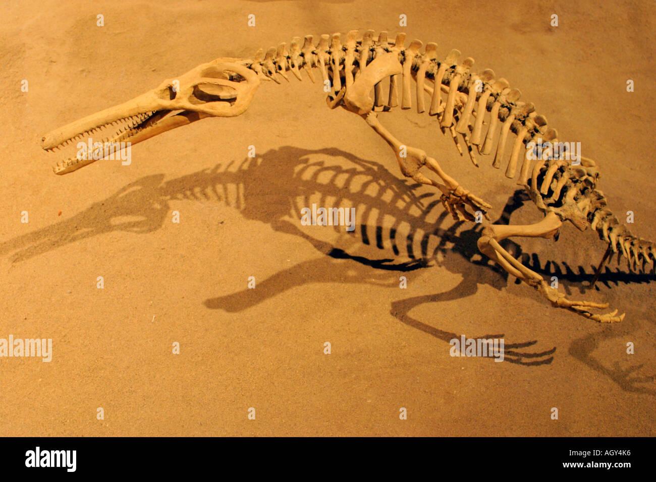 Portrait of lifesize replica of Champosaurus dinosaur Royal Tyrrell Museum Drumheller Alberta Canada - Stock Image