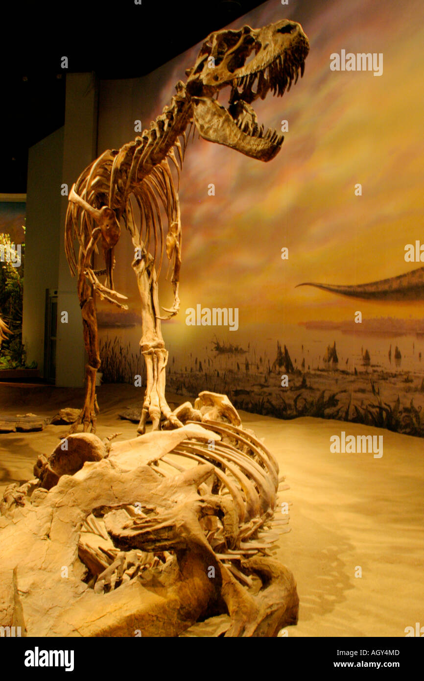 Portrait of lifesize replica of skeletal structure of Albertosaurus hovering over prey-Royal Tyrrell Museum, Drumheller, Alberta - Stock Image