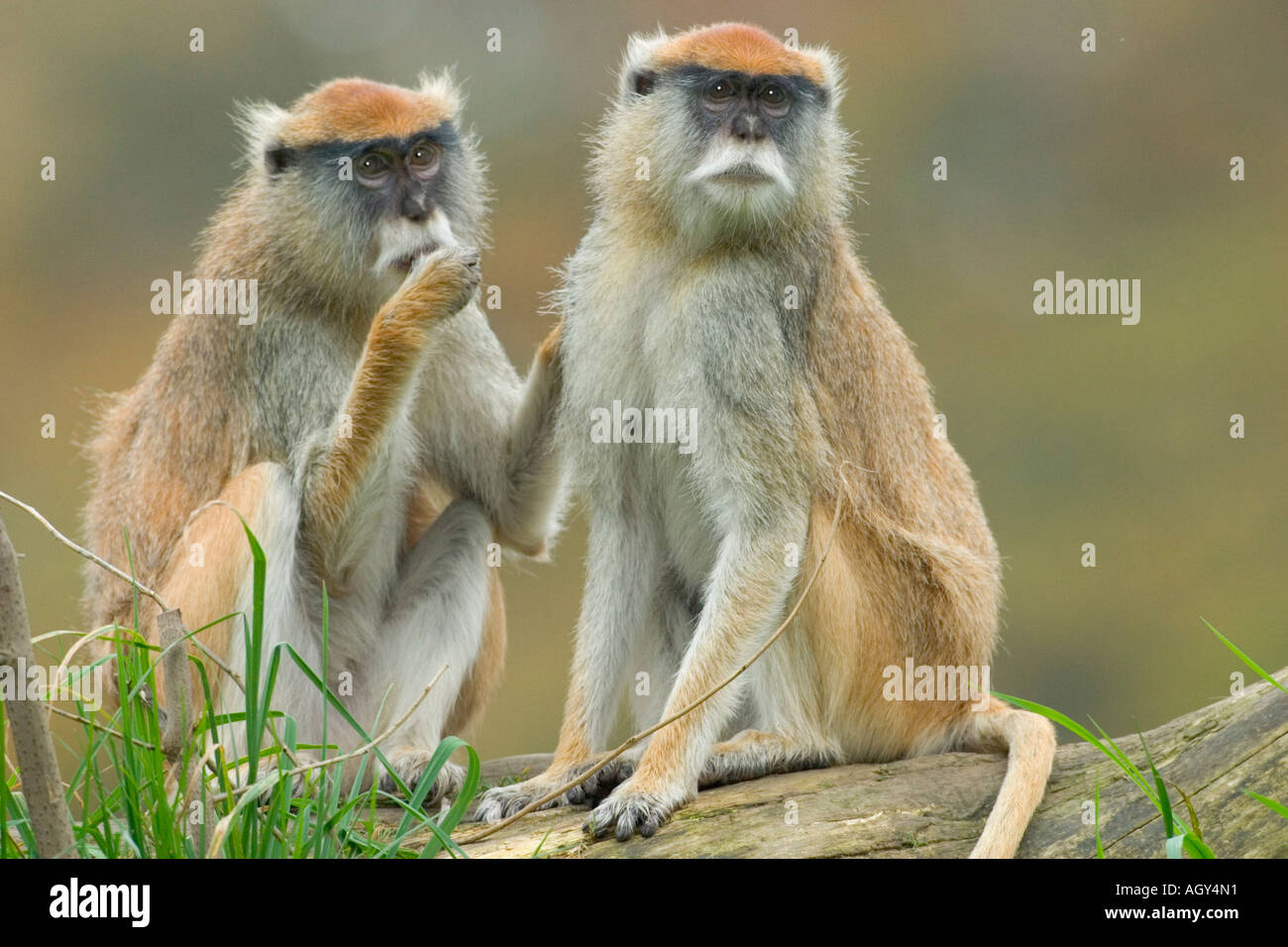 Patas monkey grooming a member of his or her group -Note-Captive subjects Stock Photo