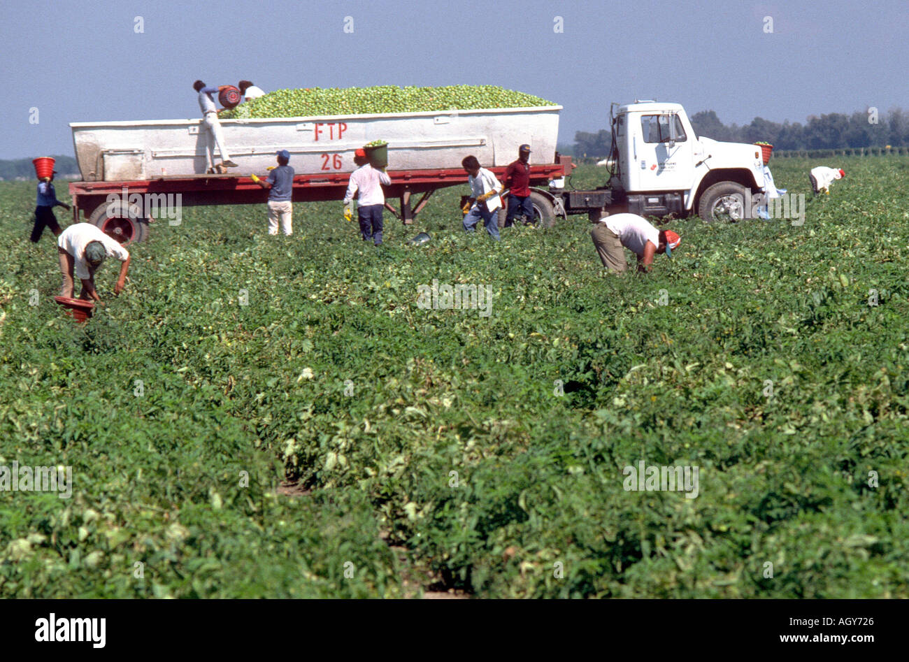 Mexican migrant worker picks tomatoes Ruskin Florida - Stock Image
