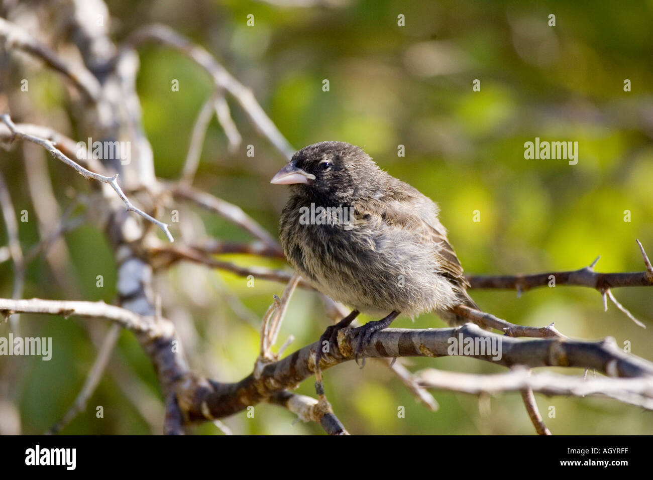 medium Ground Finch Geospiza fortis Darwin s finches Galapagos Islands - Stock Image