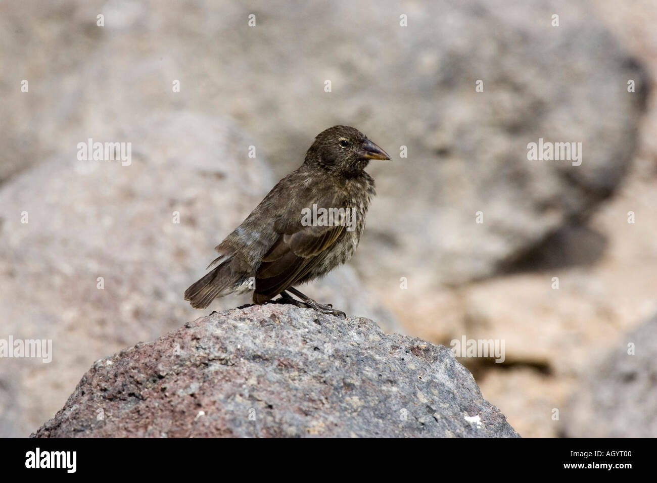 Cactus Ground Finch Geospiza scandens Opuntia echios Darwin s finches Galapagos Islands - Stock Image
