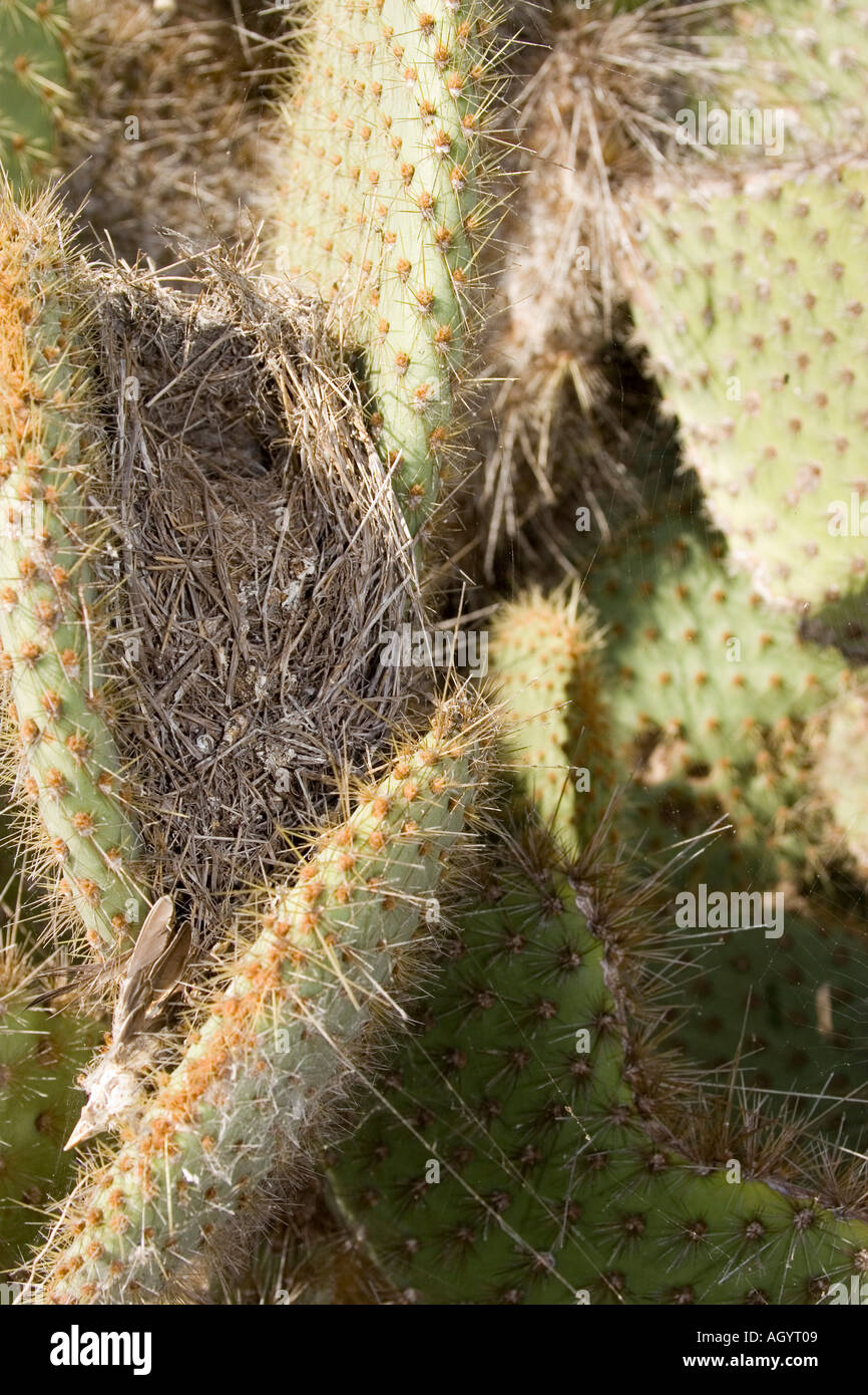 Nest of Cactus Ground Finch Geospiza scandens Opuntia echios Darwin s finches Galapagos Islands - Stock Image