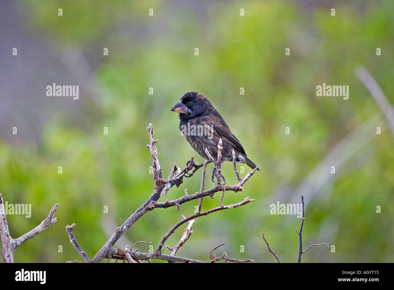 large cactus Finch Geospiza conirostris Espanola islands Galapagos - Stock Image