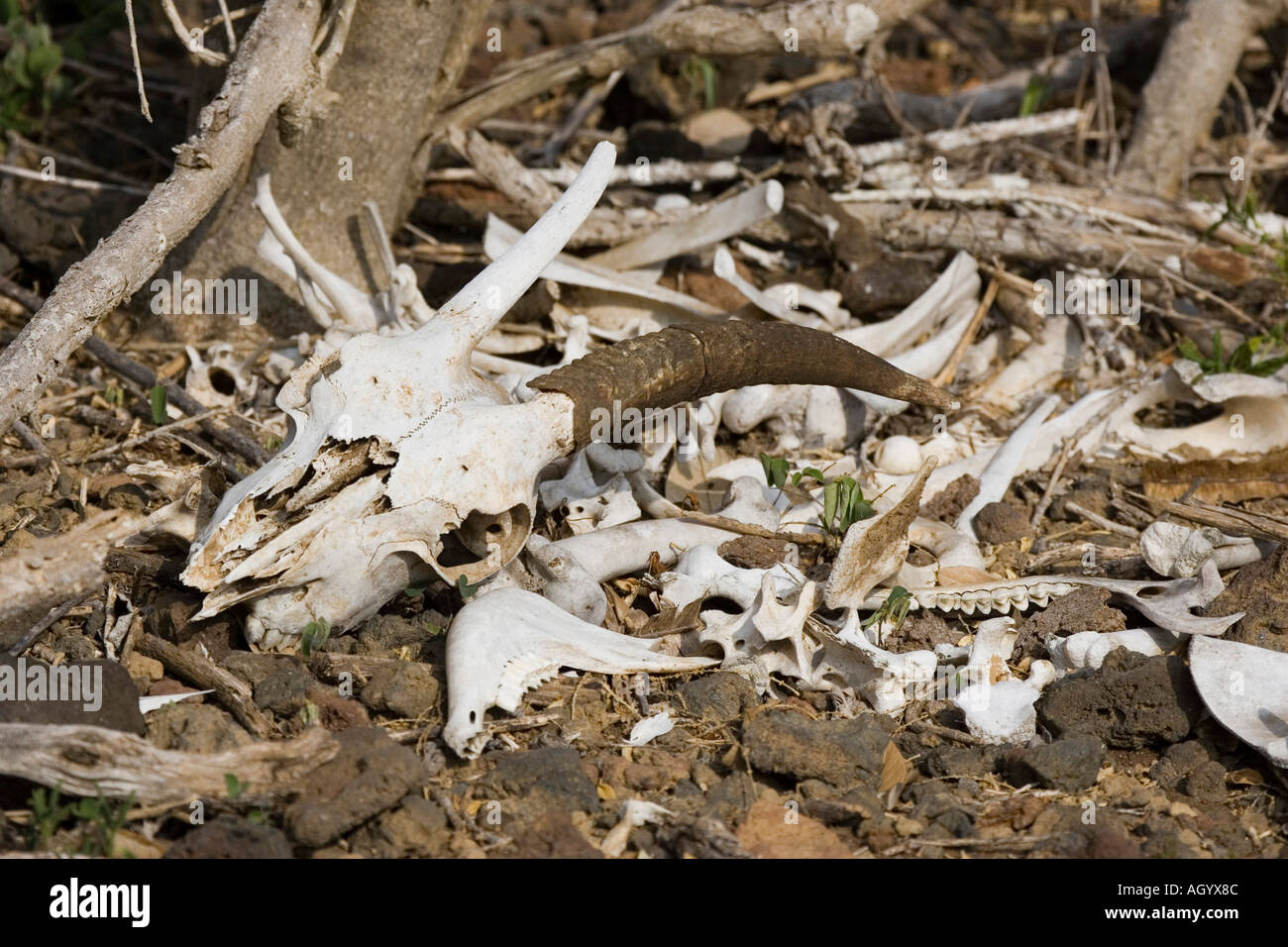 Goat are a major problem in the Galapagos islands on many of the island they are being shot - Stock Image