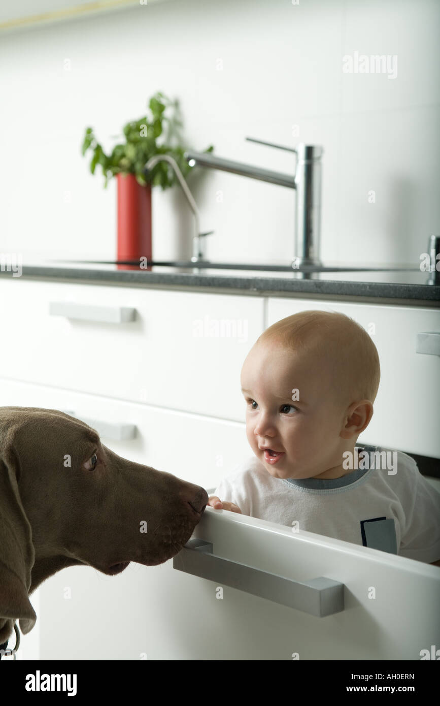 Baby sitting in drawer, being sniffed by dog - Stock Image