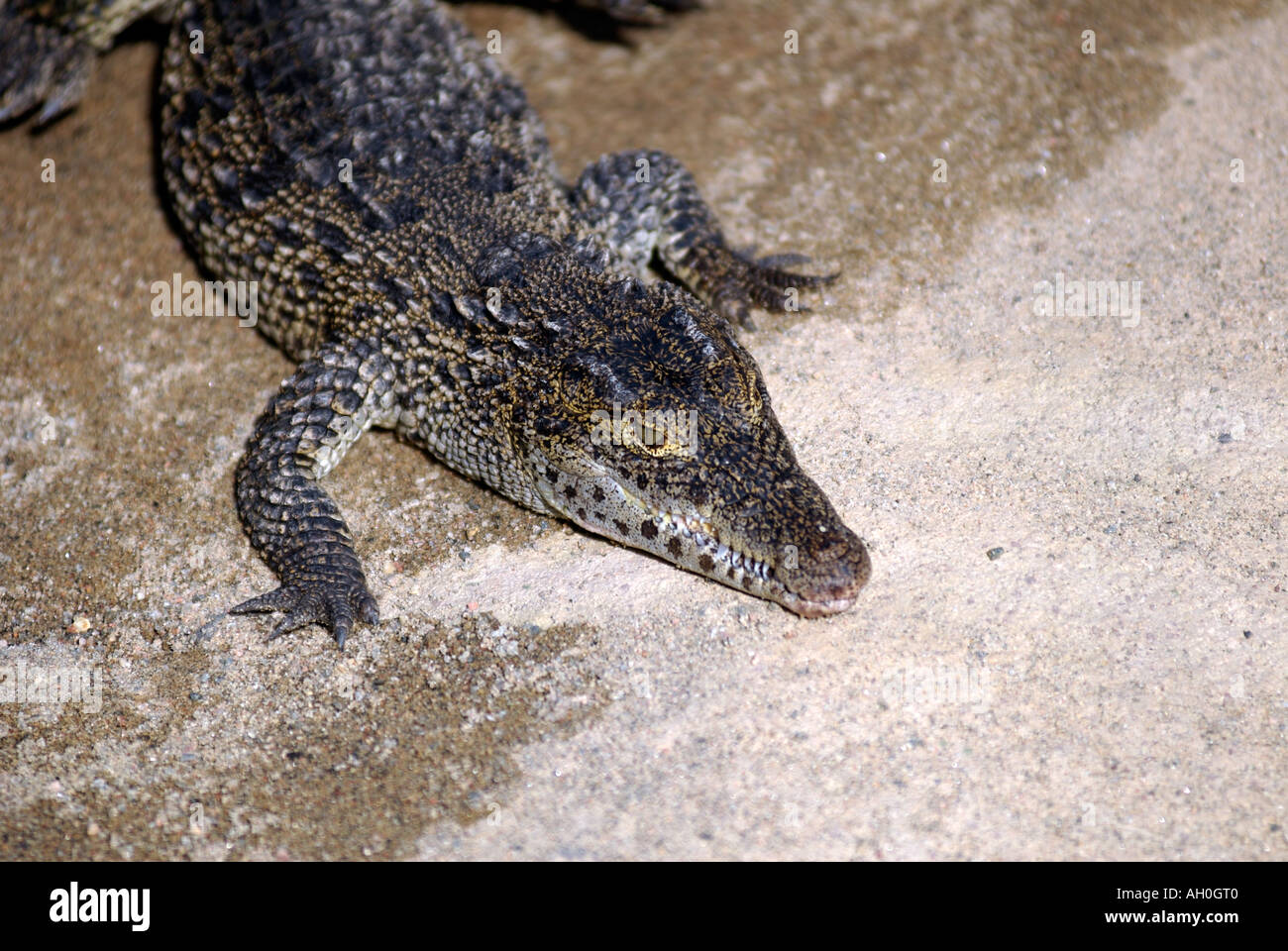 Cuban crocodile Crocodylus rhombifer.  Eskilstuna Zoo Sweden Stock Photo