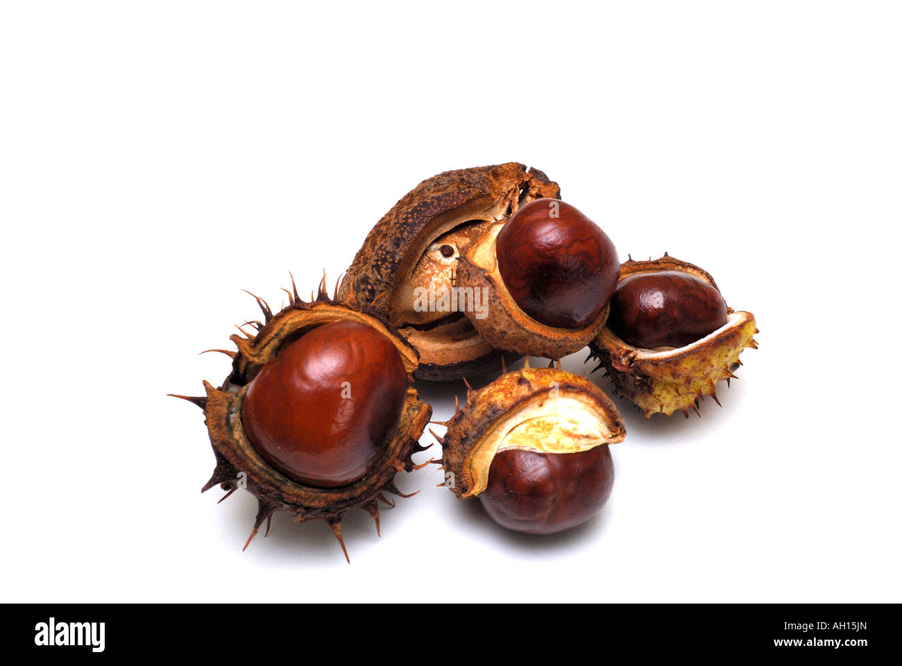 Horse chestnuts on a white background The horse chestnut s scientific name is Aesculus hippocastanum - Stock Image