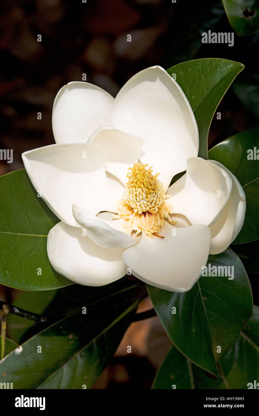 Magnolia grandiflora charles dickens evergreen southern magnolia magnolia grandiflora charles dickens evergreen southern magnolia white flower mightylinksfo