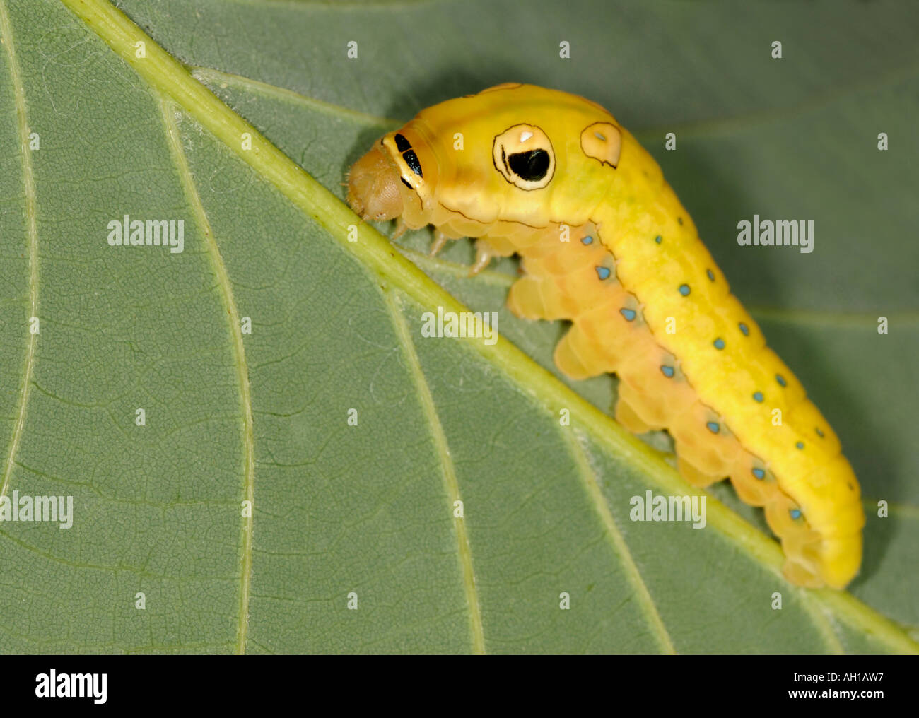 Spicebush Swallowtail, Papilio troilus, caterpillar in final prepupal instar.  Snake mimic with fake eye-spots - Stock Image