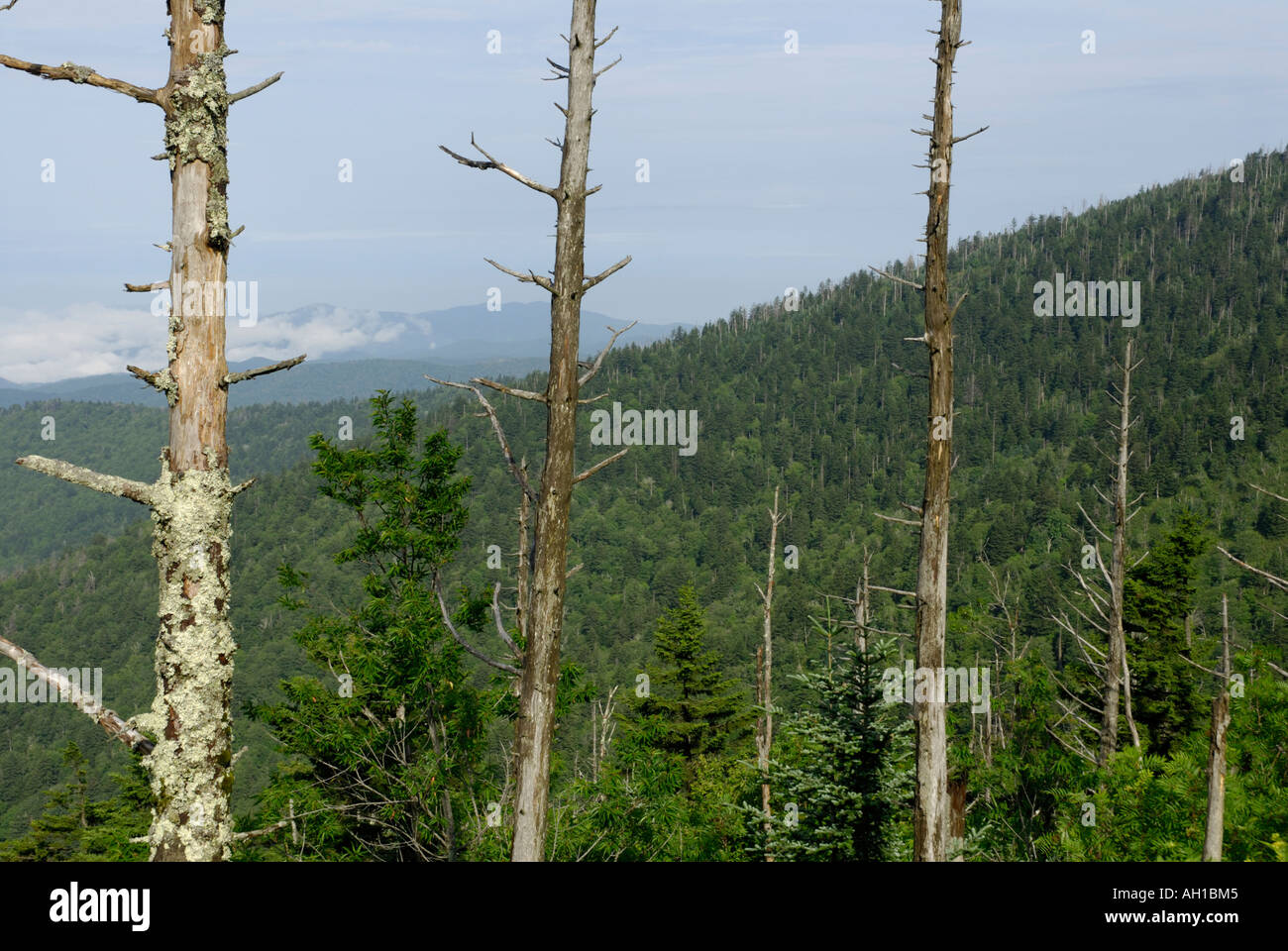 Dead Fraser Fir, Abies fraseri, trees - victims of Balsam Wooly Adelgid, Clingman's Dome, Great Smoky Mountains National Park - Stock Image