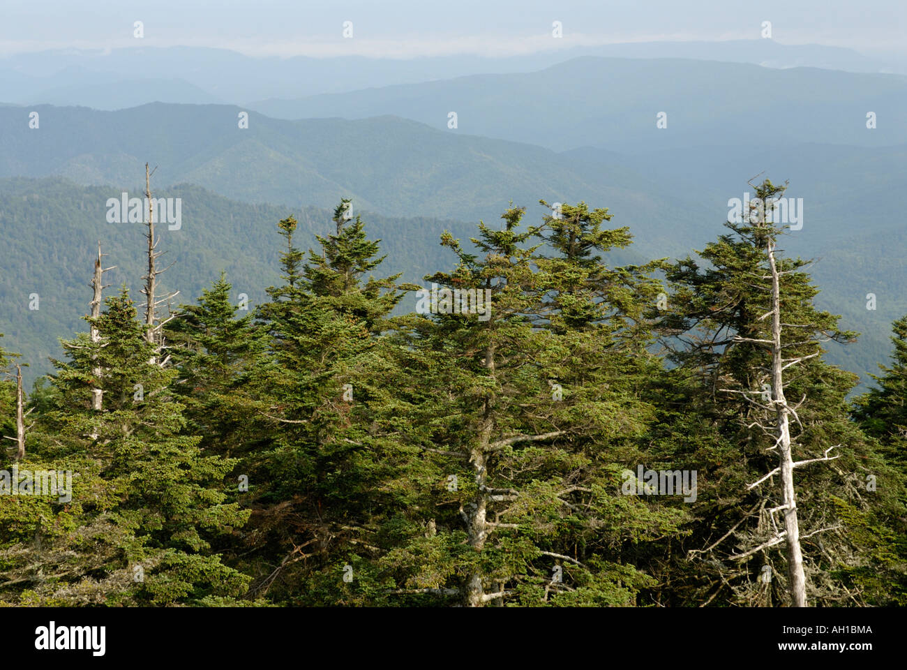 View from Clingman's Dome - Red Spruce, Picea rubens, and Fraser Fir, Abies fraseri, boreal forest at southern location - Stock Image