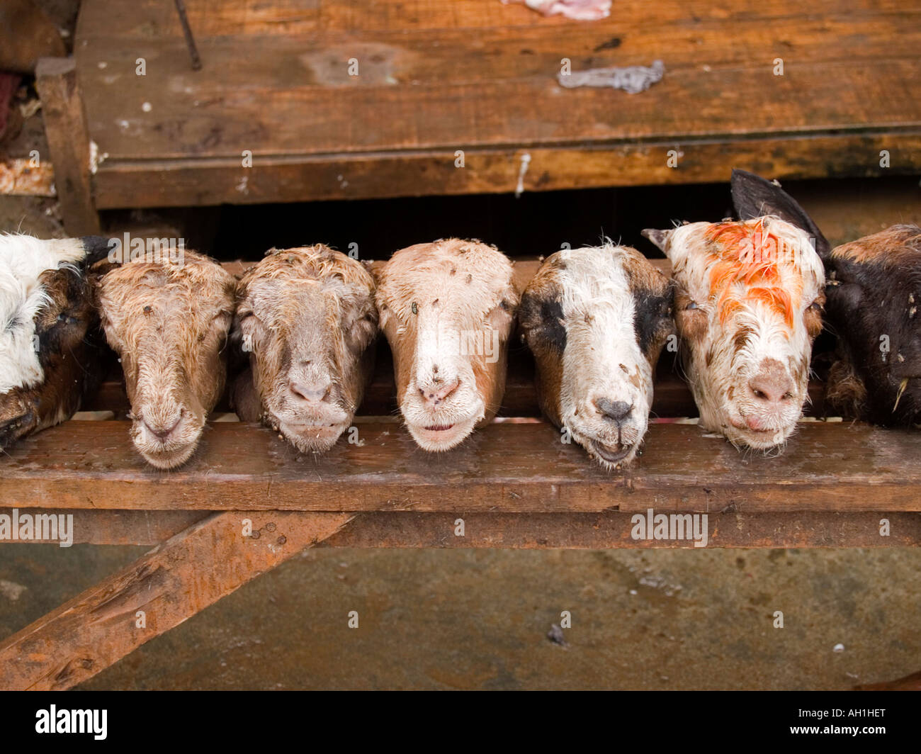 a line of goat heads at the Afghan Bazaar Peshawar Pakistan Stock