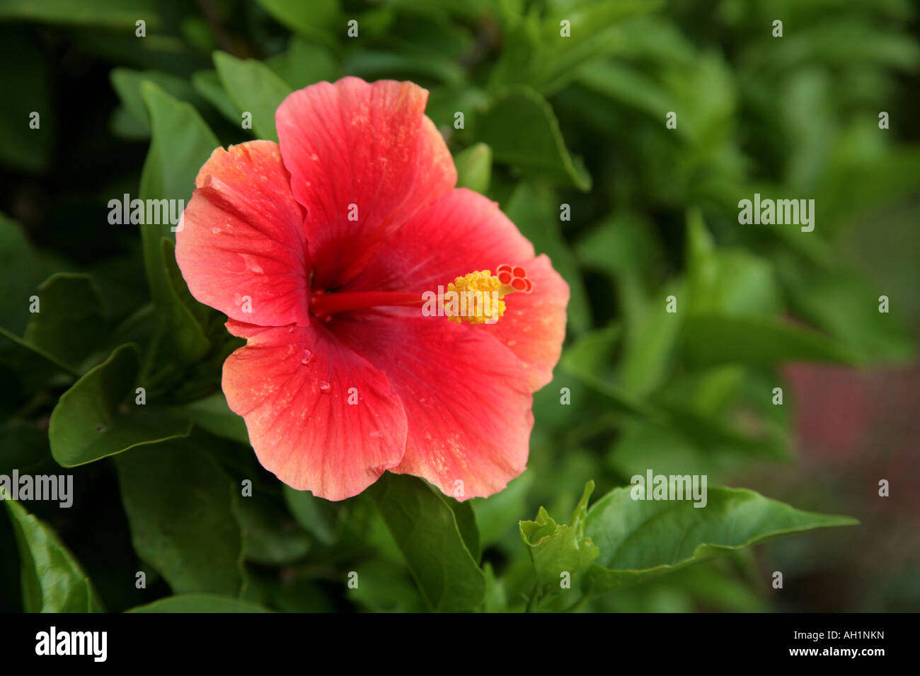 Red Exotic Hibiscus Flower In A Garden In Tropical Panama City