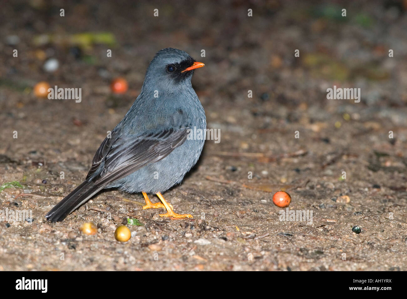 Black faced Solitaire - Stock Image