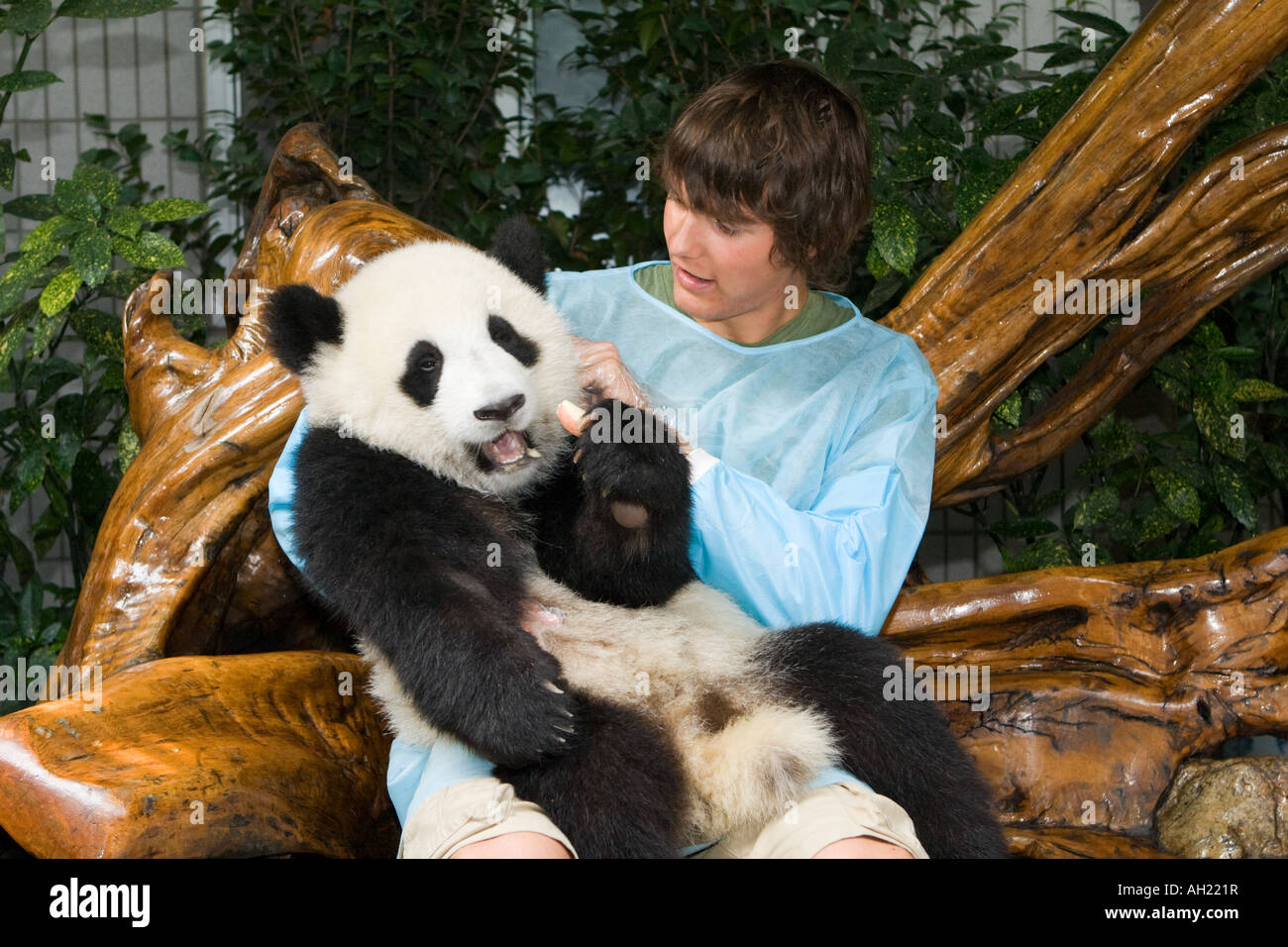 captive breeding in panda bears essay The effects of captivity on the morphology of captive,  captive breeding, domestication, feral, morphological change, phenotypic plastic-ity, reintroduction introduction there is increasing awareness of the potential for 'domestication' to occur as a by-product.