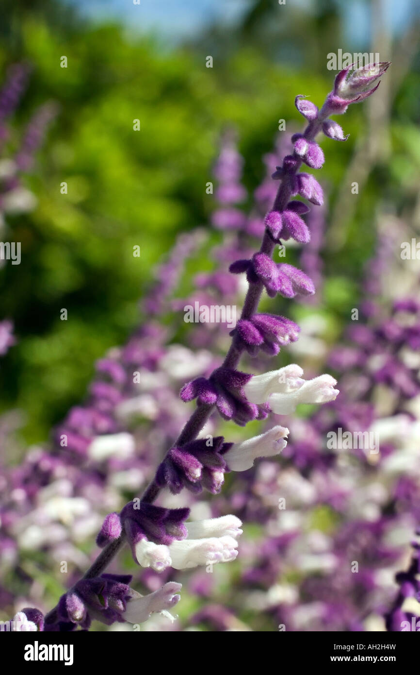 Purple And White Flowers From Mexican Bush Sage Stock Photo