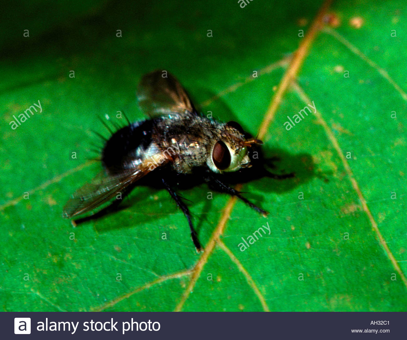 Tachinid fly Archytas sp female parasitic insect Stock Photo