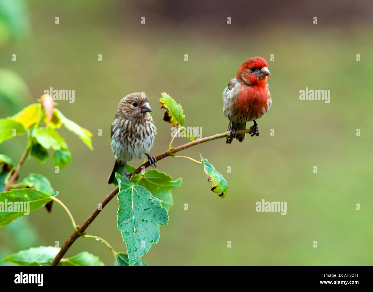 Male & Female House Finch - Stock Image