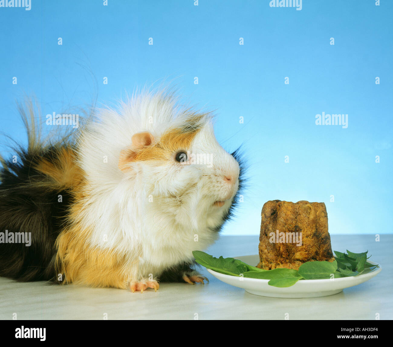 Portrait Of An Angora Guinea Pig Looking For The Birthday Cake Stock