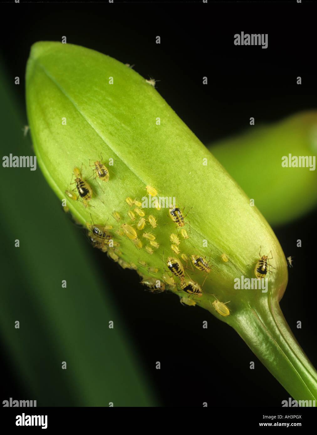 Mottled arum aphid Aulacorthum circumflexum infestation on an orchid flower bud - Stock Image