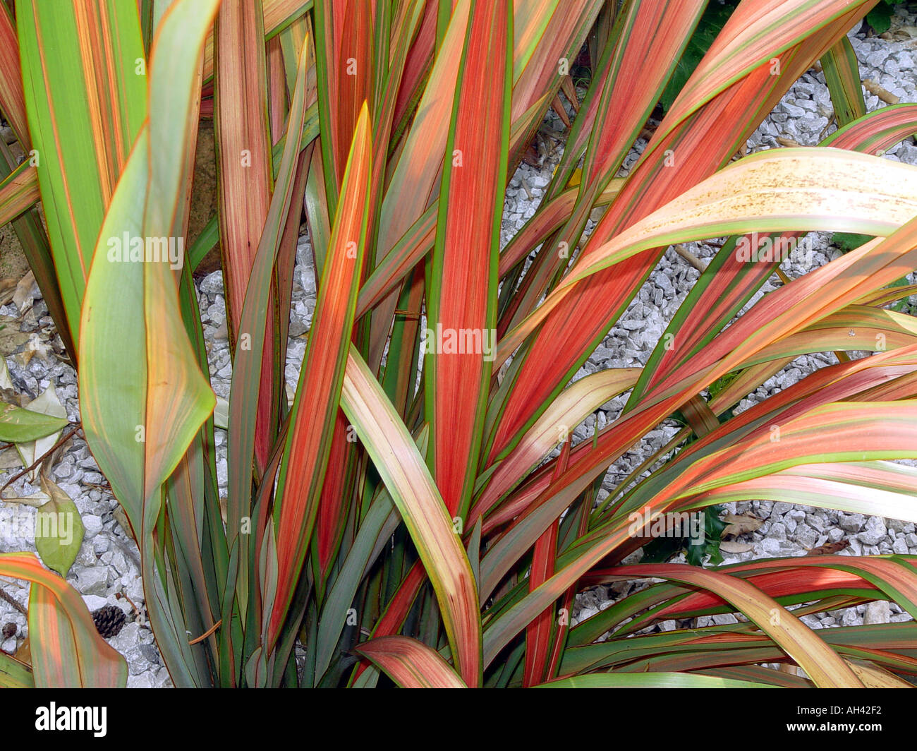 phormium jester new zealand flax hardy garden shrub with. Black Bedroom Furniture Sets. Home Design Ideas