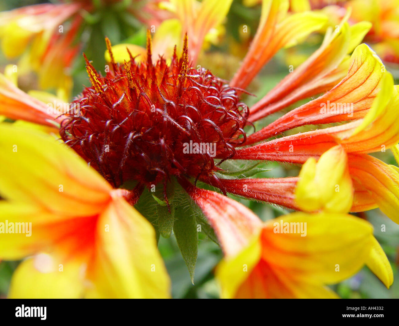 Gaillardia Fanfare Garden Perennial Blanket Flower Stock Photo