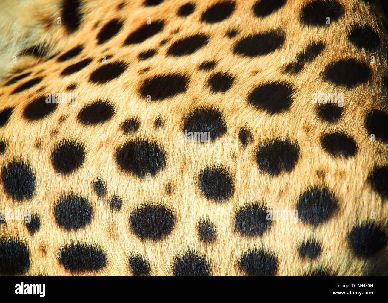 Skin of a leopard - Stock Image