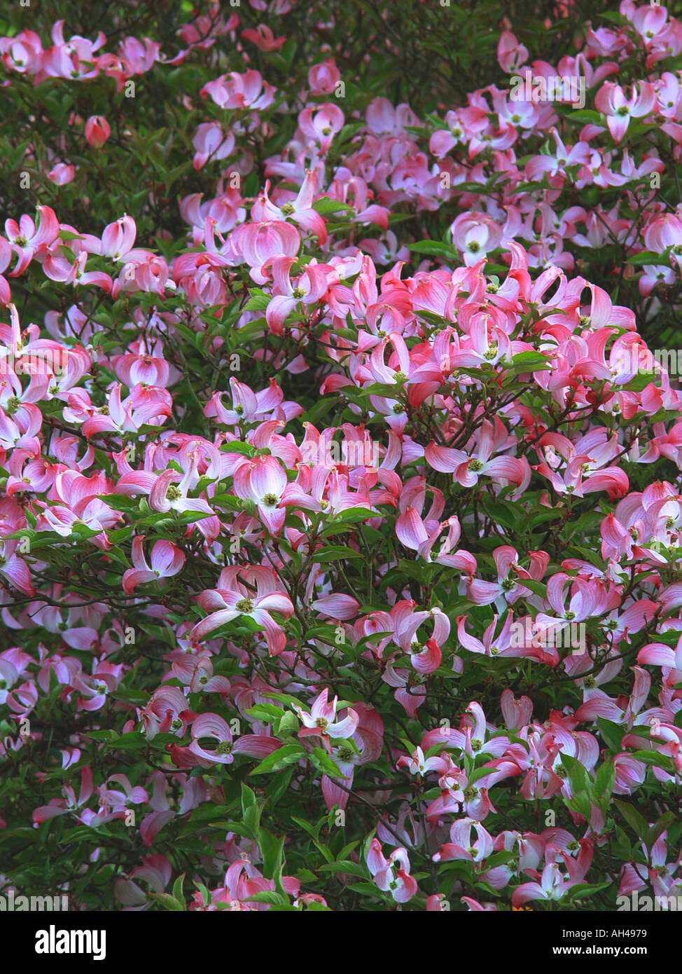 Cornus Florida Rubra Garden Spring Flowering Shrub With Pink Flowers