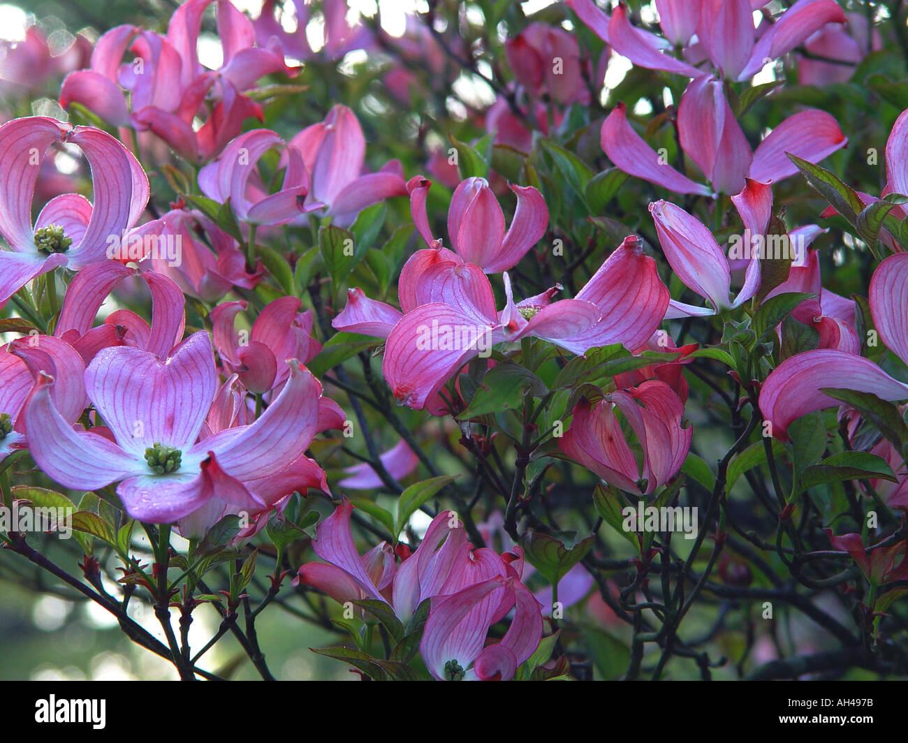 Cornus Florida Rubra Garden Spring Flowering Shrub With Pink