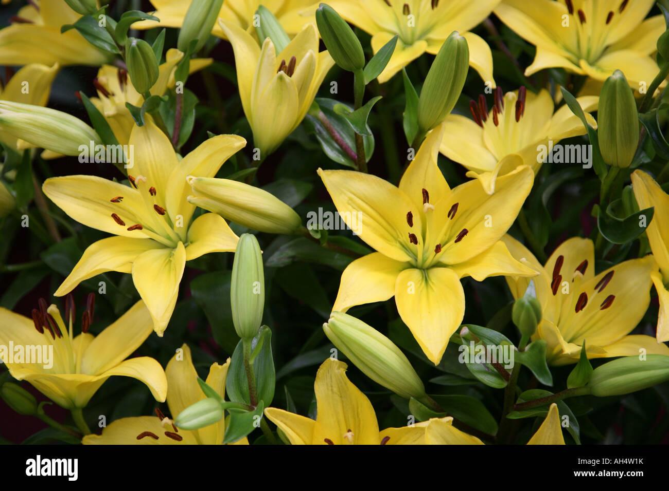 Image of yellow lilies taken at the Malvern Autumn Show 2007 - Stock Image