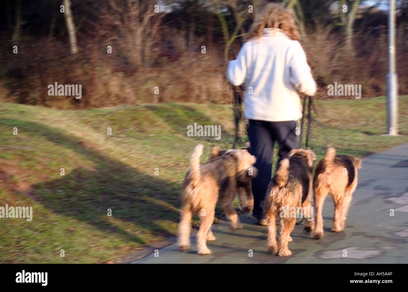 woan walking dogs arrow valley country park redditch worcestershire - Stock Image
