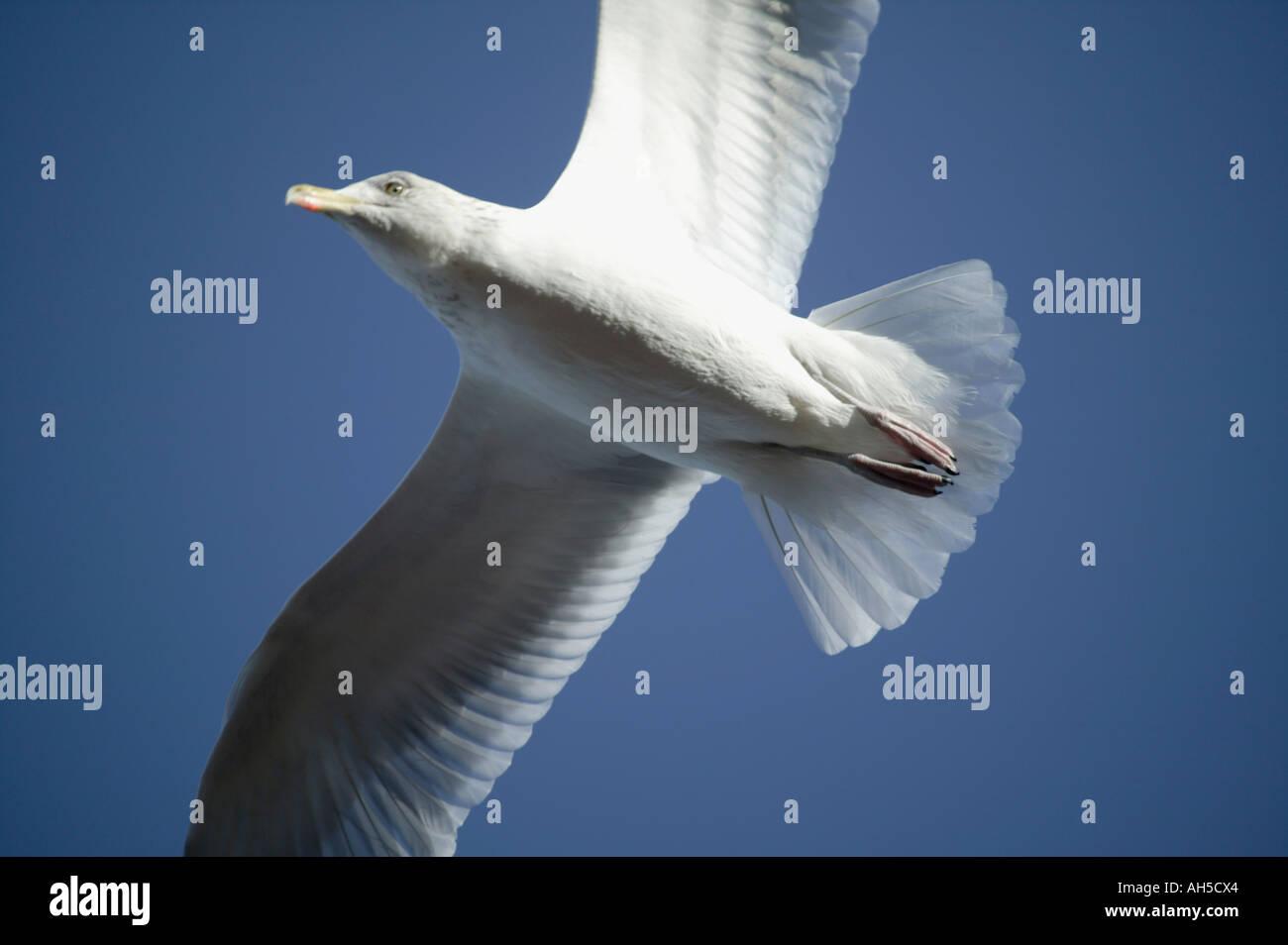 A Herring Gull Larus argentatus patrols overhead Teignmouth Devon Great Britain - Stock Image