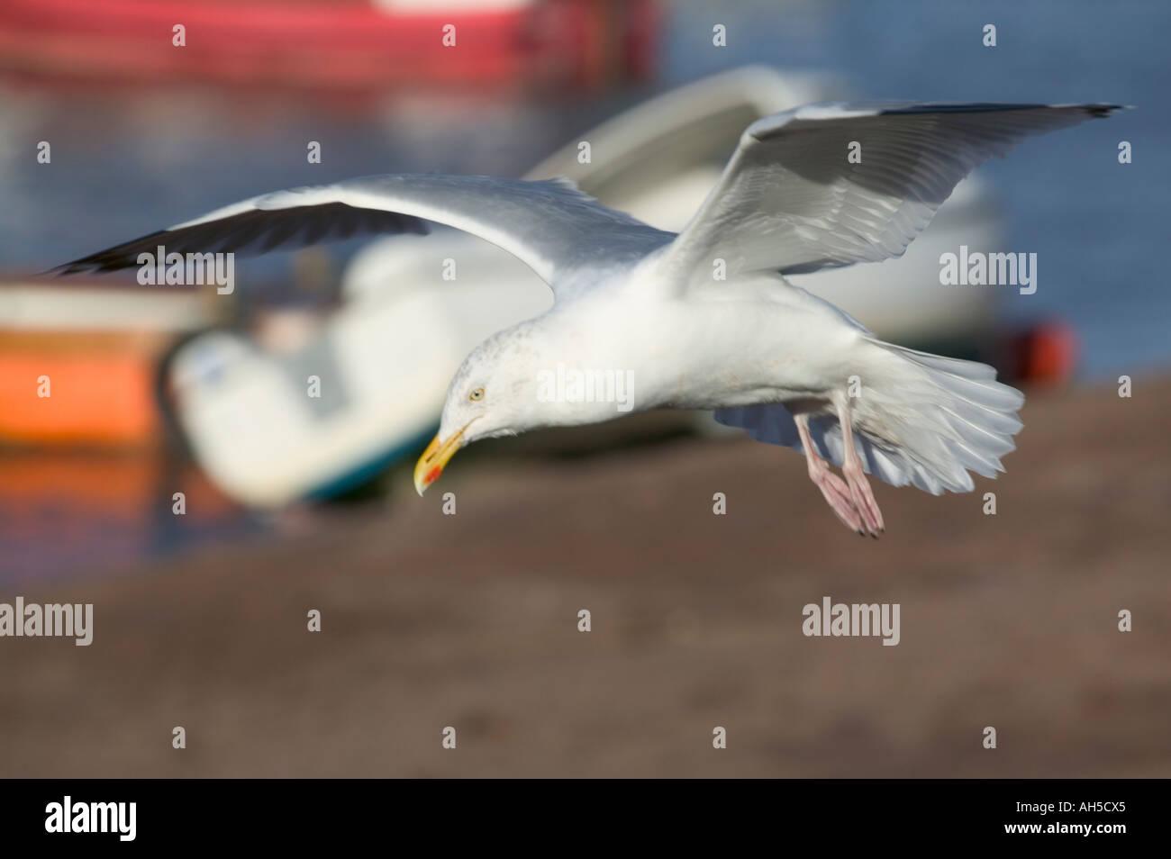 A Herring Gull Larus argentatus in flight Teignmouth Devon Great Britain - Stock Image