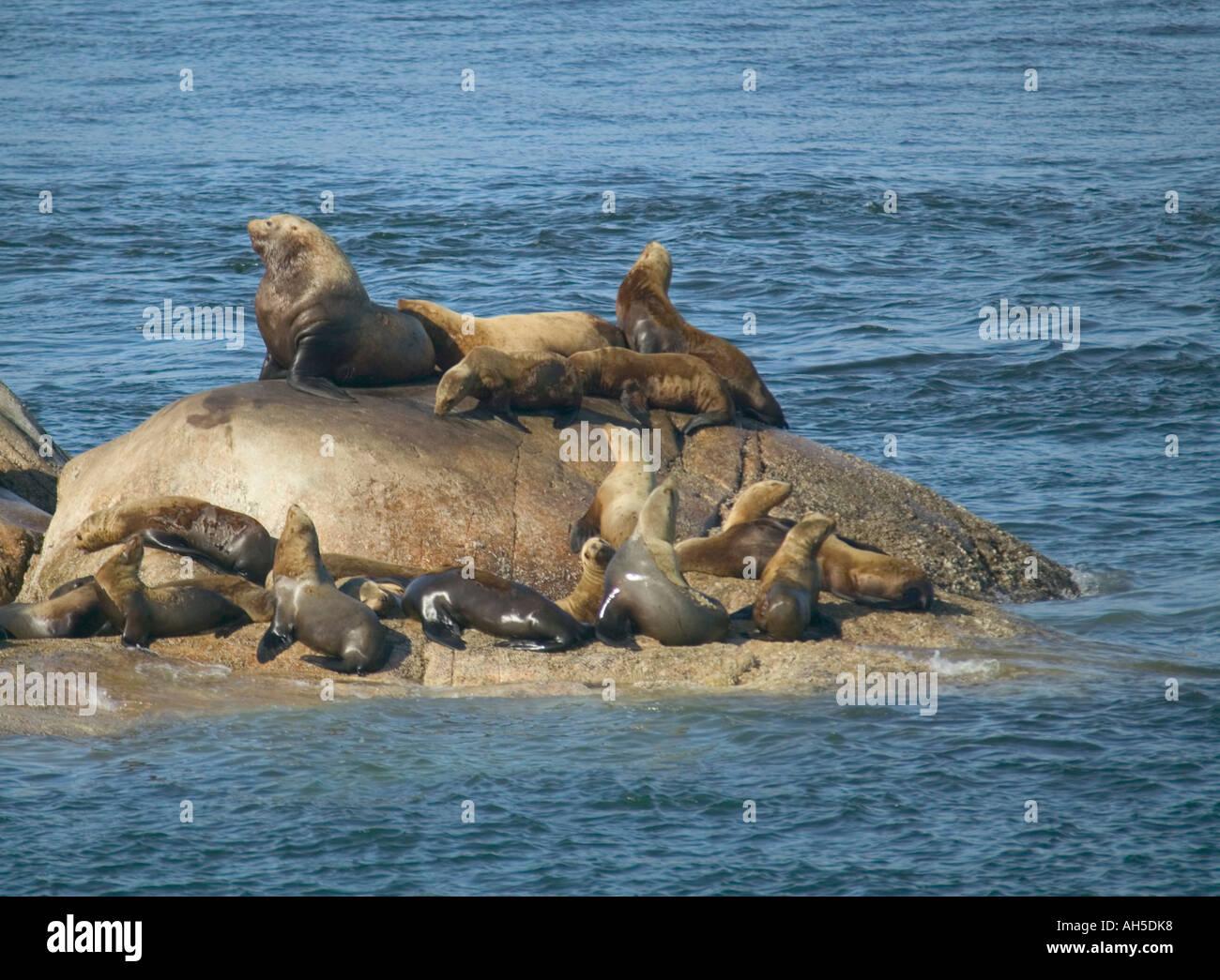 Stellers Sea Lions Eumetopias jubatus on rocks in Glacier Bay National Park Alaska USA - Stock Image