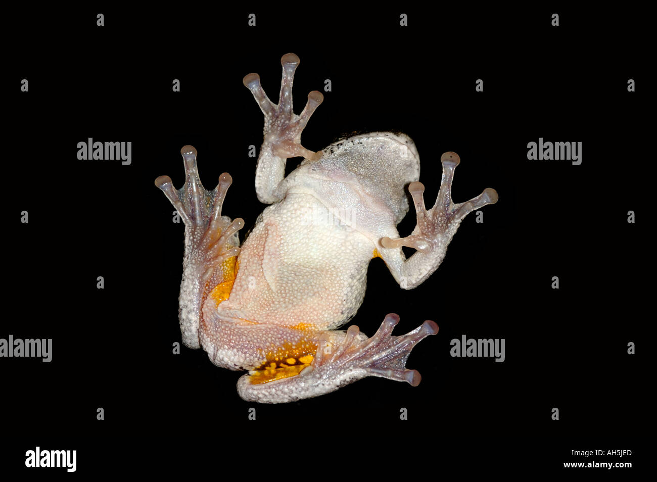 Underside of a Northern Gray Treefrog tree frog Hyla versicolor perched on a window northern New Jersey - Stock Image